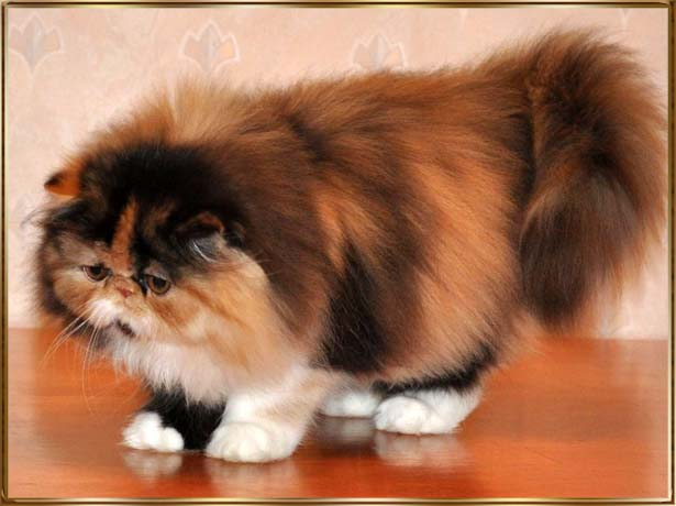 how to teach a persian cat tricks