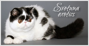 Svetuna Exotics Tabbies and Silver Tabbies